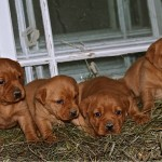 4 Female Puppies Now Available out of Tucker and tilly