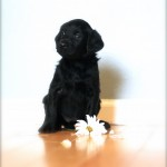 Aussiedoodle for sale MN