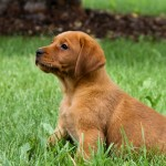 Bella red lab puppies for sale mn