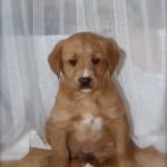 Berniedoodles for sale