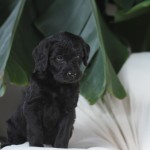 Black Berniedoodle for sale