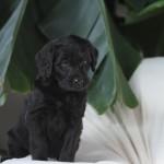 Black Berniedoodle for sale