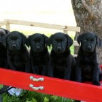 Black Lab Puppes MN