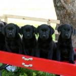 Black Lab Puppes MN