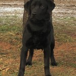 black lab for sale mn family dog