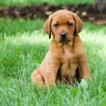 Cooper red lab puppies for sale mn