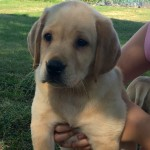 Cute yellow Lab for Sale