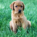 Daisy red lab puppies for sale mn