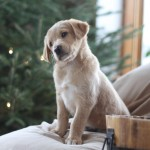 Goldendoodle for sale MN