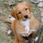 Goldendoodles available for sale