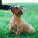 Jack red lab puppies for sale mn