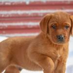 Labrador Puppies MN-1