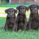 Labrador Puppies MN-10