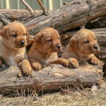 Labrador Puppies MN-2