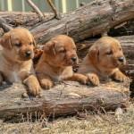 Labrador Puppies MN-2
