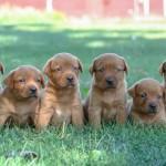 Labrador Puppies MN-3