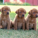 Labrador Puppies MN-6