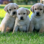 Labrador Puppies MN-7