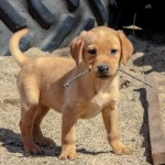 Labrador Puppies MN-8