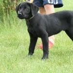 LadyxTucker black puppies-1