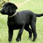LadyxTucker black puppies-2
