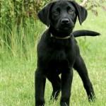 LadyxTucker black puppies-3