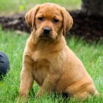 Maggie red lab puppies for sale mn