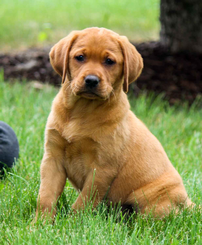 Puppies for Sale | Redlund Labradors