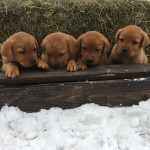 red labs females for sale minnesota