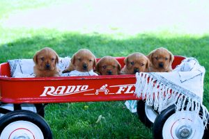Red Labs for Sale Puppies MN