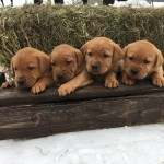 red male labs for sale mn