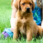 Rufus red lab puppies for sale mn