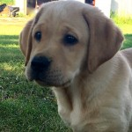 Yellow Lab Puppies for Sale MN