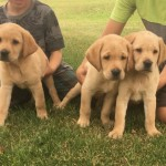 Yellow Labs for Sale MN 2017