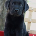 black lab puppies for sale mn