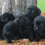 black lab puppies mn