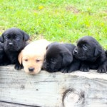 black lab puppy for sale mn
