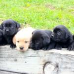 black lab puppy for sale mn