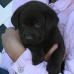 chocolate labs for sale mn-3