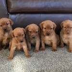 fox red lab puppies