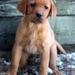 fox red lab puppies for sale mn
