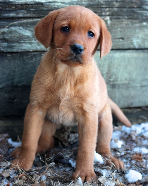 Puppies for Sale | Redlund Labradors
