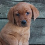 fox red labs for sale mn