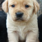 labrador puppies for sale mn