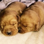 red labradors for sale mn