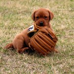 Red Lab Puppies for Sale MN