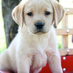 yellow lab for sale mn
