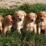 yellow labs for sale mn-1