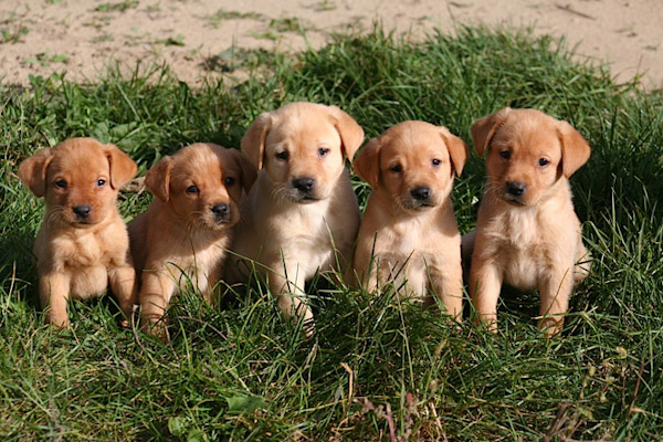 Yellow Lab Dogs For Sale In Mn