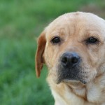 yellow labs for sale mn-2